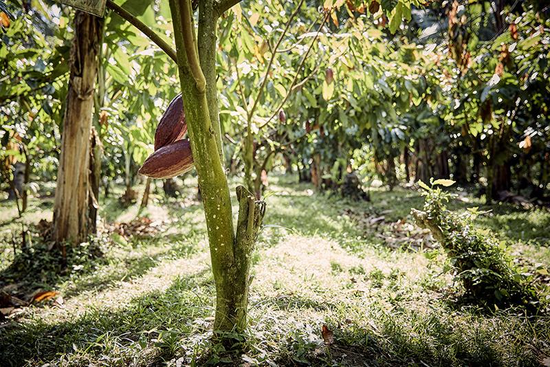 Plantación cacao Valrhona